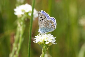 Modraszek korydon - Polyommatus coridon