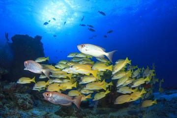 School of fish on coral reef underwater