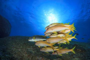 School yellow fish: Goatfish