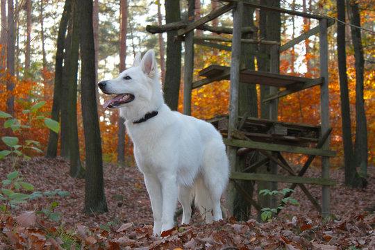 Schweizer Schäferhund Herbstwald