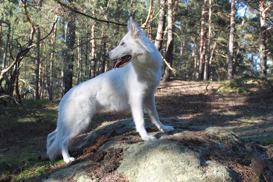 Schweizer Schäferhund Hündin