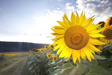 Sunflower Road