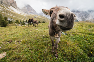 Photo sur Plexiglas Ane wide angle picture of donkey in Dolomites