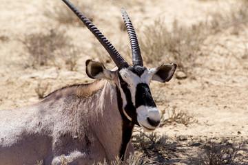close up portrait of Gemsbok, Oryx gazella