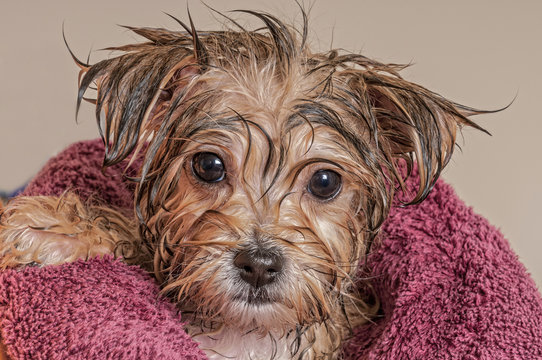 Puppy Getting Dry After His Bath