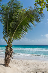 Young palm tree on beach in Barbados