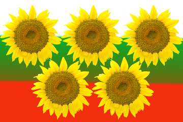 Five large sunflowers isolated on background Bulgarian flag.