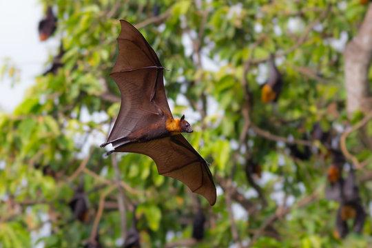 Full open wings of flying male Lyle's flying fox