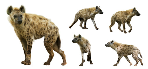 Set of hyenas. Isolated over white background