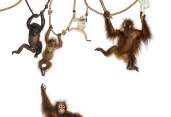 Fotorolgordijn Aap Young Orangutan, young Pileated Gibbon and young Bonobo hanging