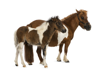 shetland and foal - 9 years old-1 month old