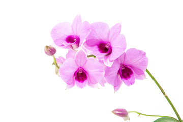 Violet orchid flower branch on white background