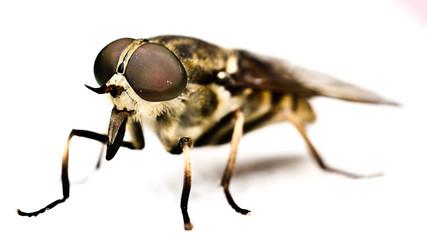 Fliege/ Bremse/ Pferdebremse - Insekten ganz nahe