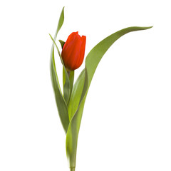 red tulip flower on a stem with leaves isolated on white backgro