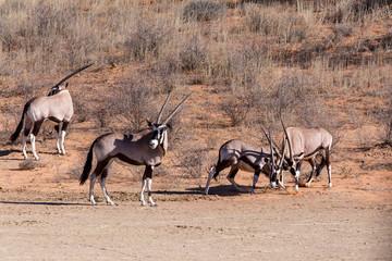 fight between two male Gemsbok, Oryx gazella