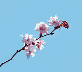 A branch of cherry blossoms isolated on blue background.