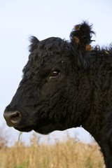 Galloway cow portrait