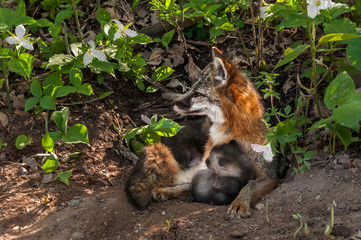 Grey Fox Vixen (Urocyon cinereoargenteus) and Kit Snuggle at Den