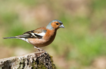 Common Chaffinch on stump