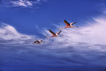Three flamingos flying over Atacama desert.