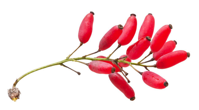 red Berberis sprout with ripe fruits isolated