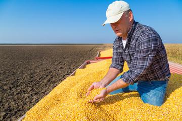 Farmer showing harvested corn maize grains during harvest