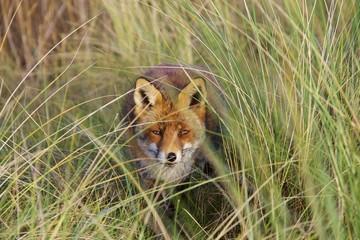 Fox peekaboo!