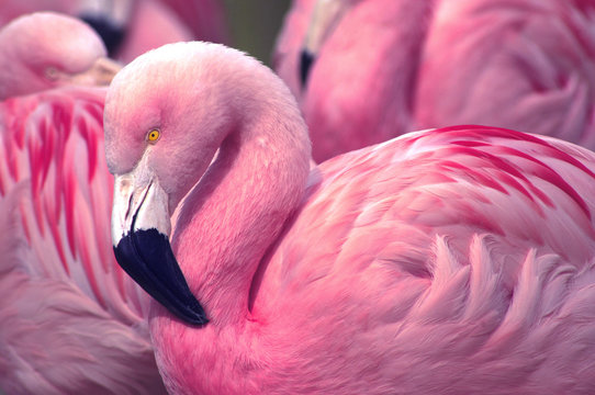 Chilean Pink Flamingo