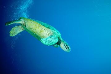Green sea turtle swimming in Derawan, Kalimantan underwater