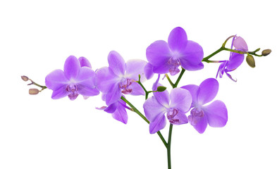 large branch with light lilac orchid flowers