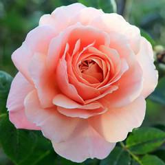 Single pink rose in a garden