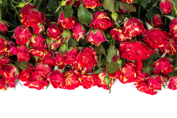 Bushed red roses background