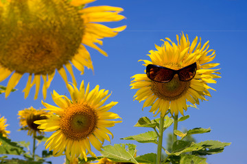 Sunflower   smiling  with sunglasses