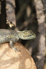 Brown spotted lizard - Fairchild gardens