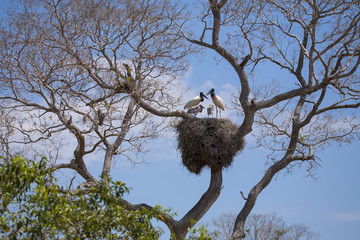Jabiru Stork Family on Huge Nest, Blue Sky