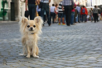 Small city dog on leash, chihuahua, sitting on pavement