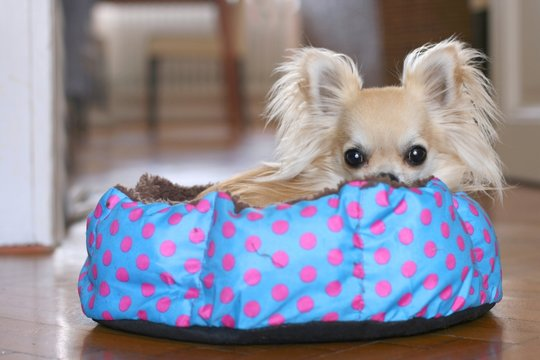 Cute longhair chihuahua hiding and relaxing in dog bed indoors