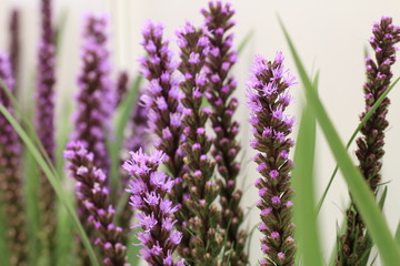 Dense Blazing Star,Spiked Gayfeather,Button Snake-root