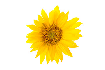 Sunflower flower head isolated on white.