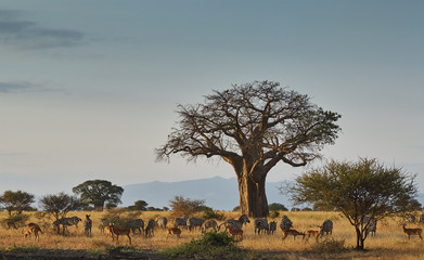 Poster Baobab African landscape with animals