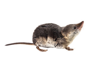 Isolated Common shrew (Sorex araneus) with clipping path