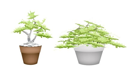 Two Bonsai Tree in Flower Pot on White Background