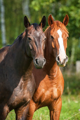 Portrait of two horses on the pasture
