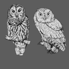 Realistic line drawing of two owl bird