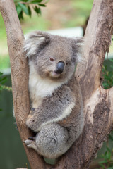 Portrait of Koala sitting on a branch