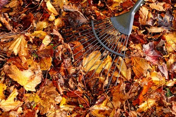 Raking up maple leaves © Arena Photo UK