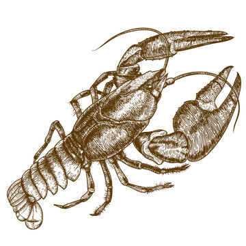 Engraving woodcut illustration of crayfish on white background