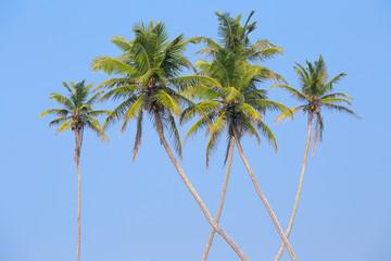 Coconuts palm tree in Sri Lanka.