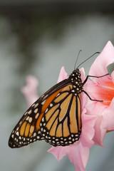 Orangenfarbener Schmetterling