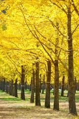 가을 정취와 은행나무숲